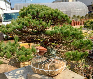 Digging out Japanese white pine