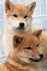 柴犬の仔犬の兄弟